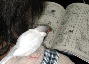 漫画を読む文鳥?